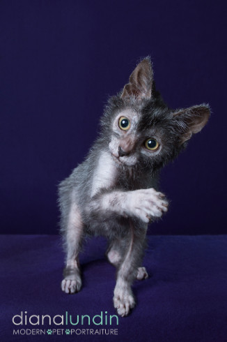 Lykoi Cat For Sale Los Angeles