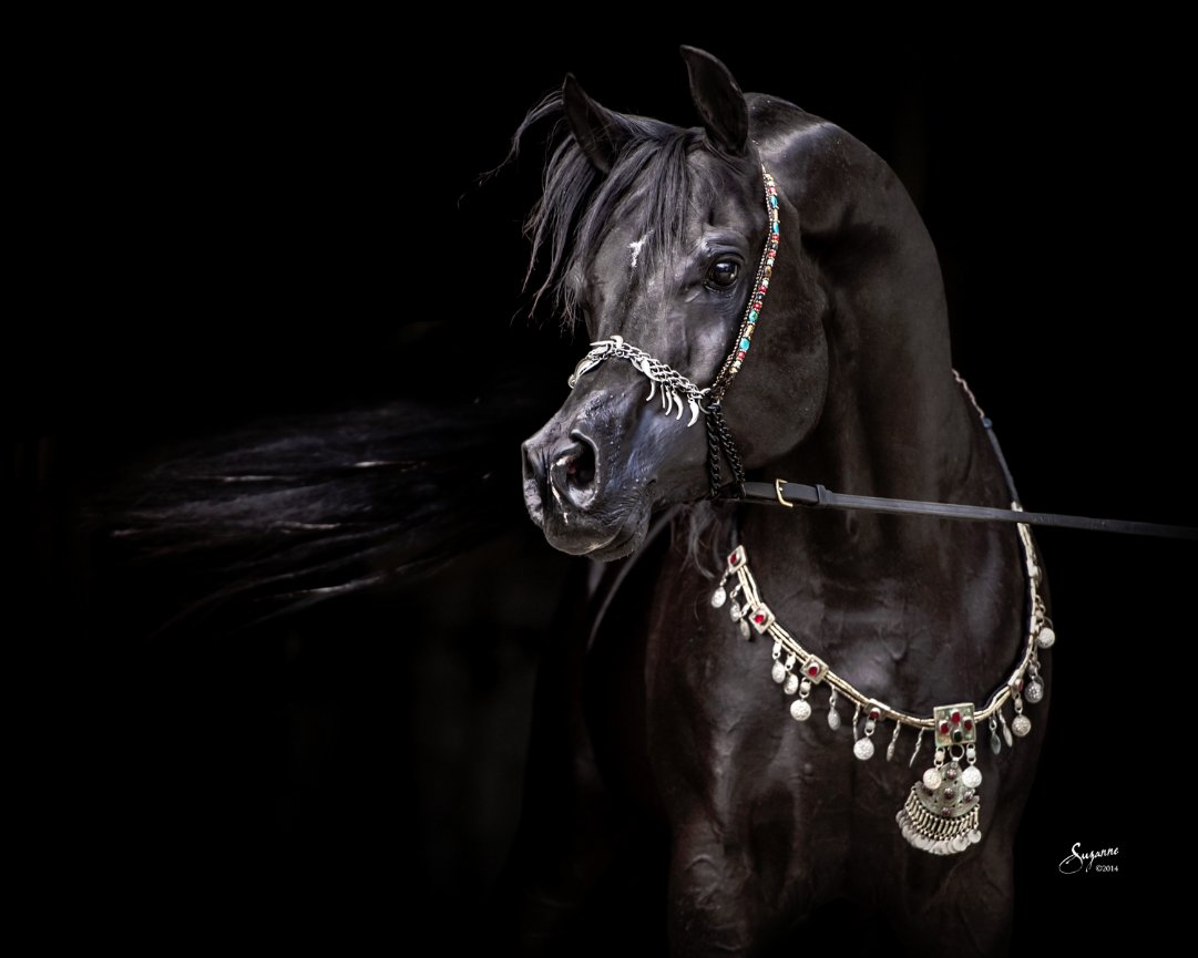 Arabian Gallery I Equine Photography By Suzanne Inc