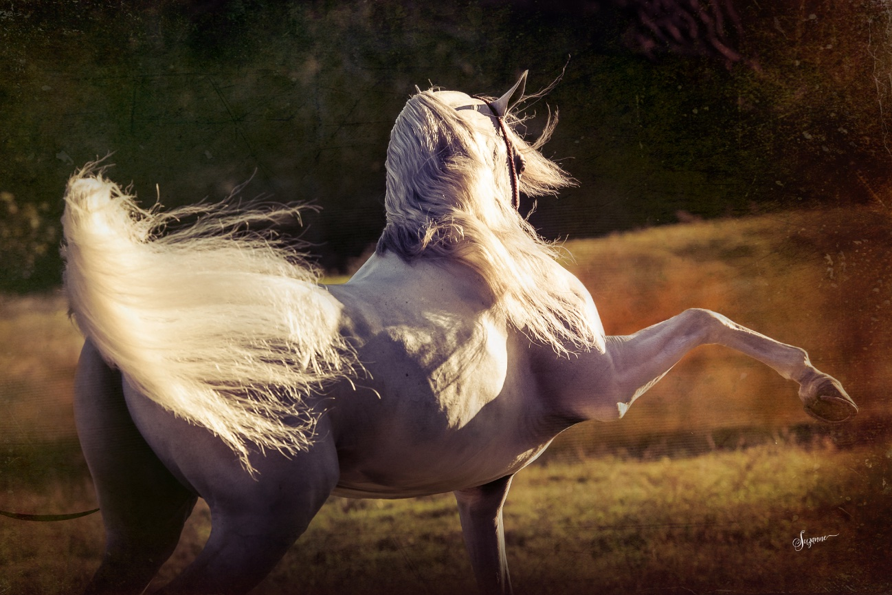 arabian horse gallery - 2 - EQUINE PHOTOGRAPHY by SUZANNE ...