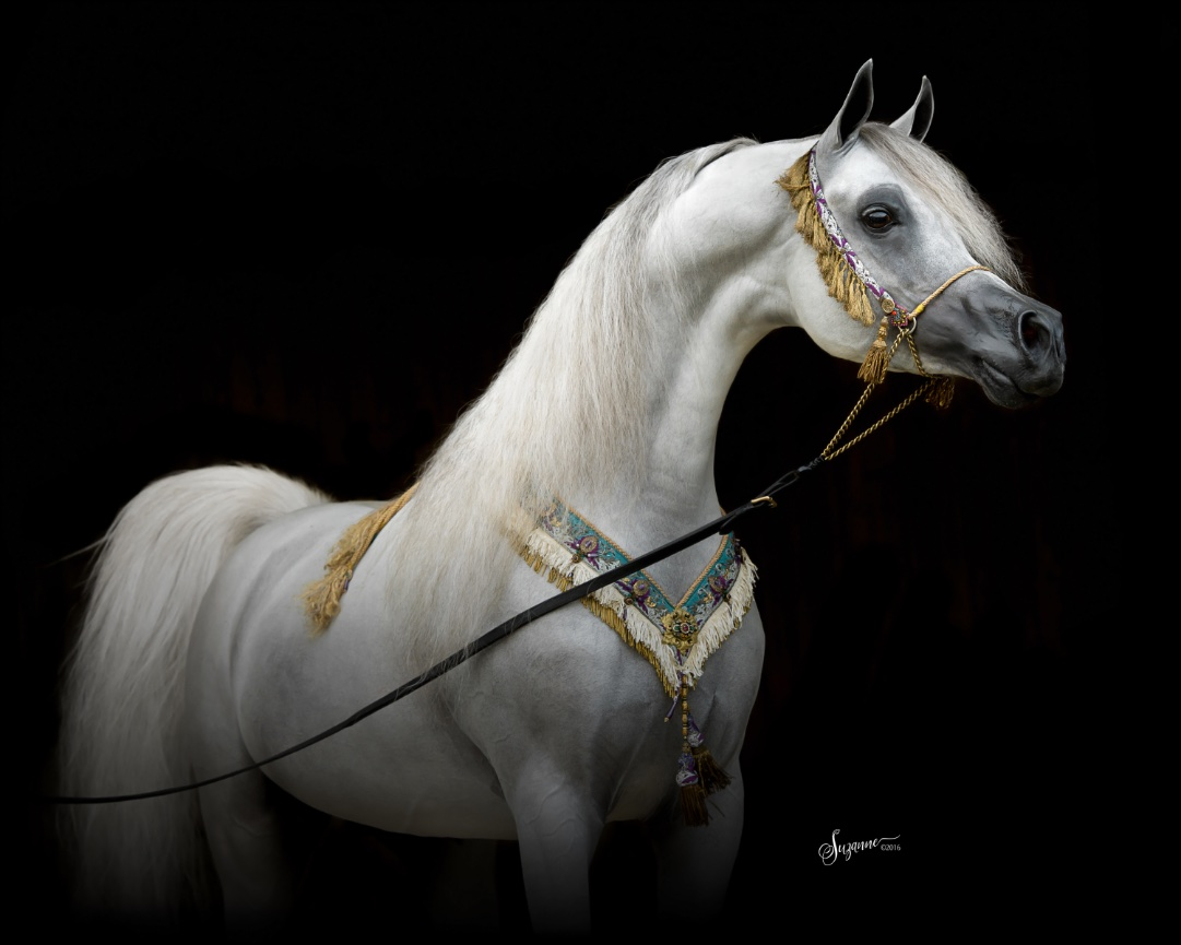 Arabian Gallery Ii Equine Photography By Suzanne Inc